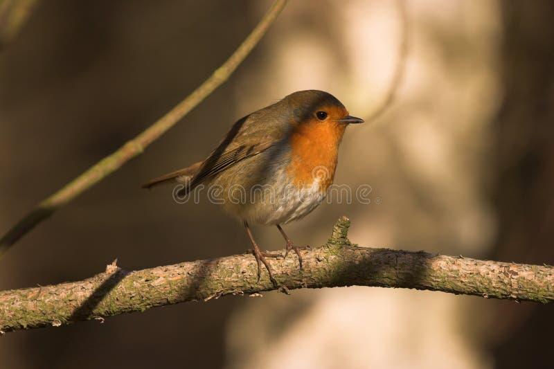 Erithacusrubecula Robin streek op de vogels van een tak Britse het wildtuin neer royalty-vrije stock afbeeldingen