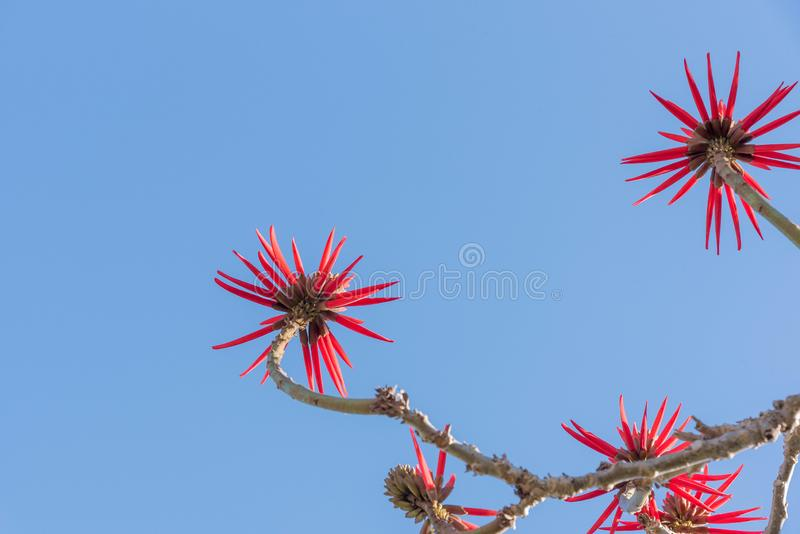Eritrina花和它强烈红色04 库存照片