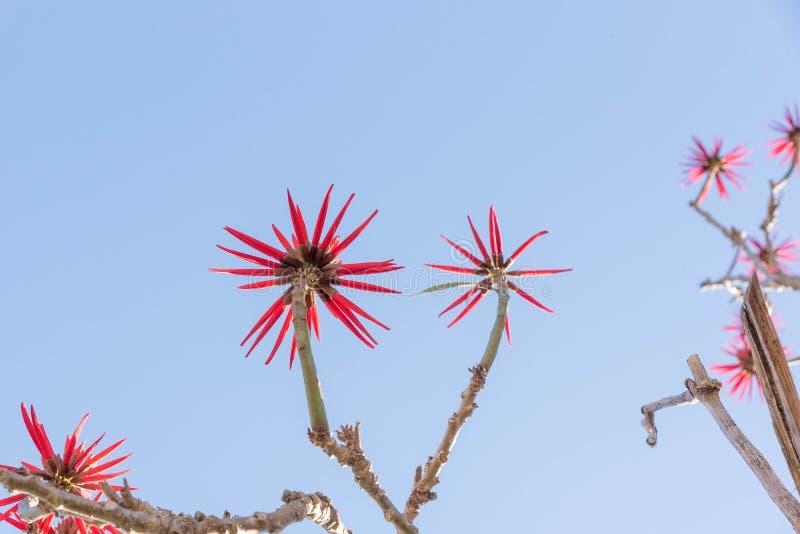 Eritrina blommor och dess intensiva röda 01 arkivfoto