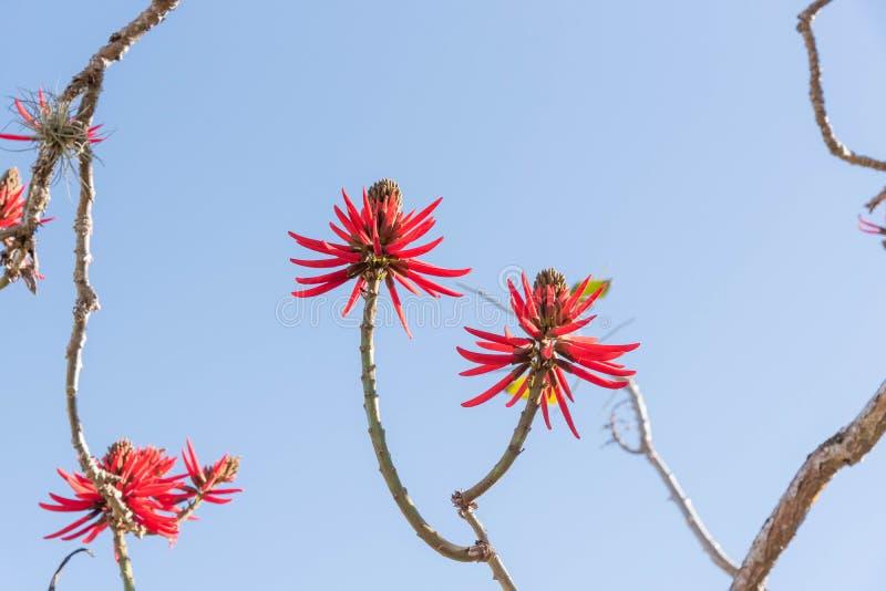 Eritrina kwiaty 02 i swój intensywna czerwień obraz stock