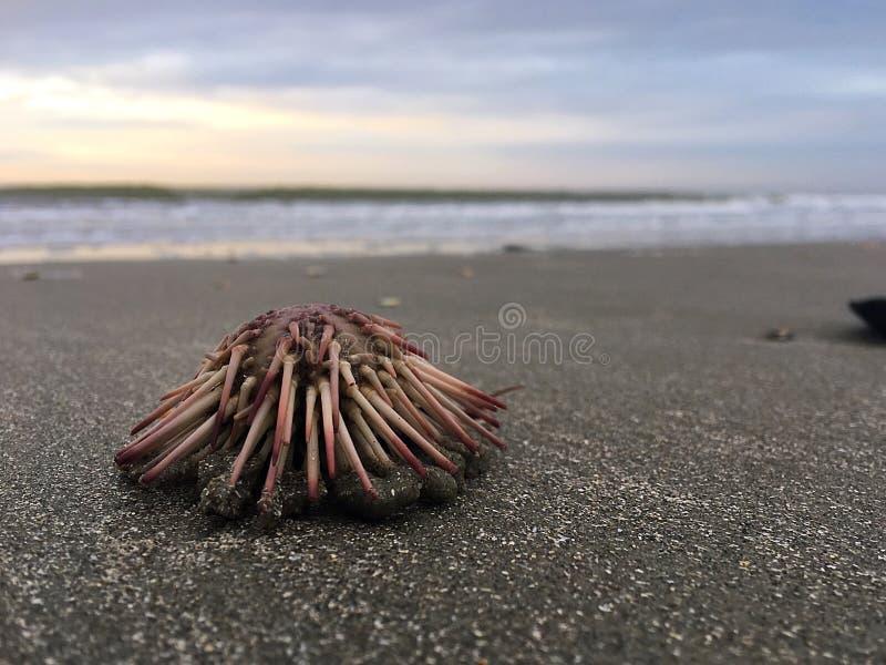 Erizo de mar foto de archivo libre de regalías