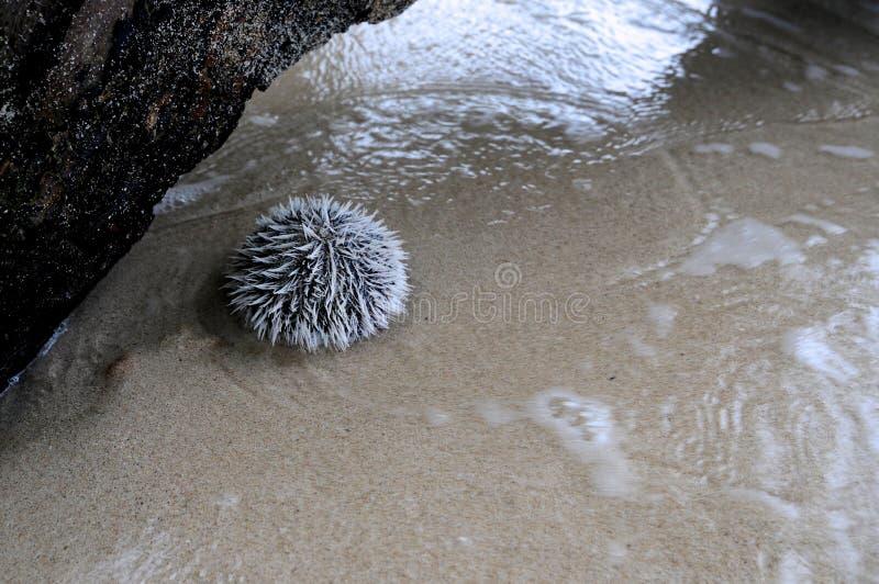 Erizo de mar en la playa de Winnifred en Jamaica fotografía de archivo