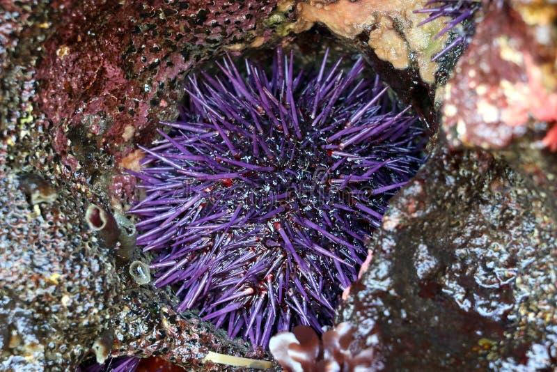 Erizo de mar púrpura en una roca fotografía de archivo