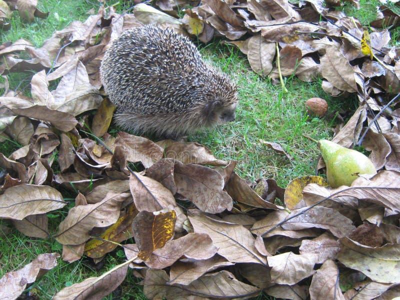 Erizo en las hojas de otoño imagen de archivo