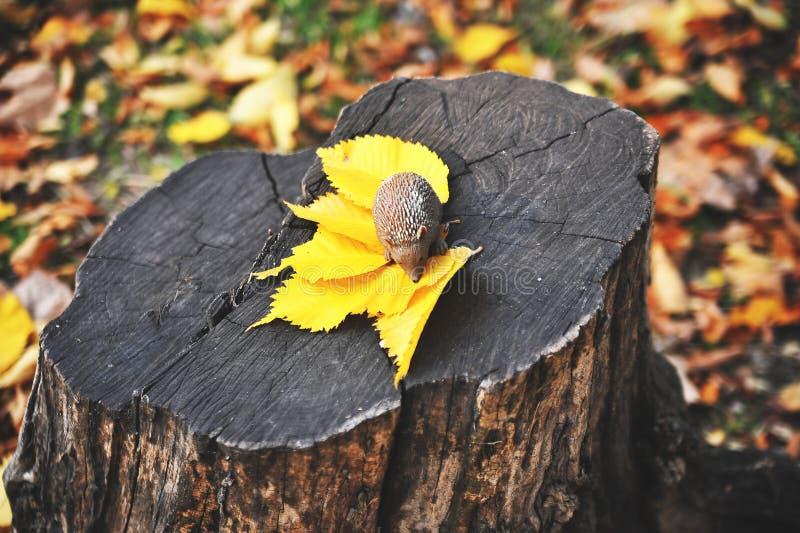 Erizo en las hojas de otoño en bosque fotos de archivo