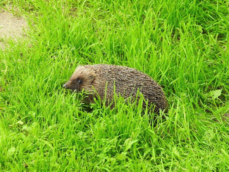 Erizo hermoso en la hierba verde, Lituania fotos de archivo