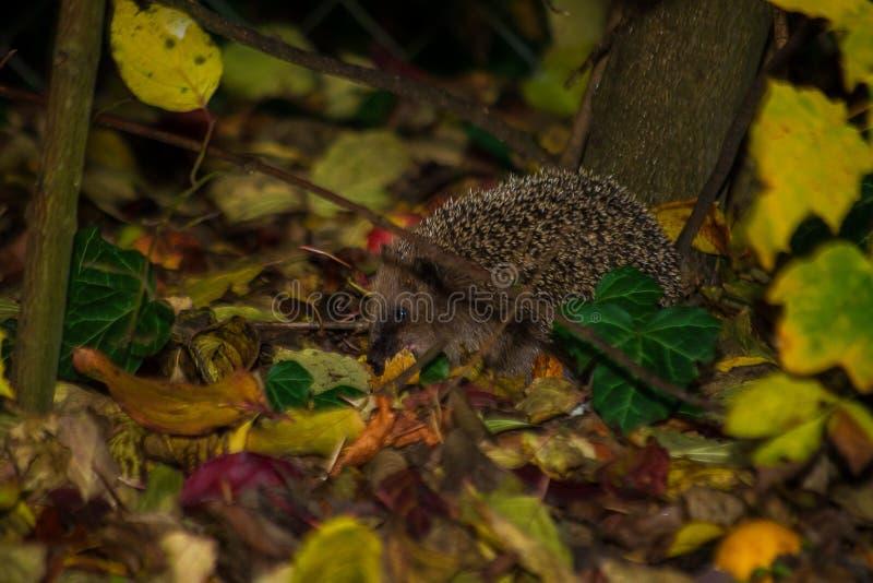 Erizo que camina debajo de arbustos Erizo que camina entre follaje en jardín fotografía de archivo libre de regalías