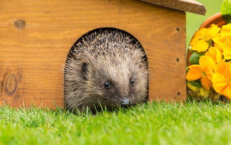 Erizo que emerge de la hibernaci?n en tiempo de primavera fotos de archivo libres de regalías