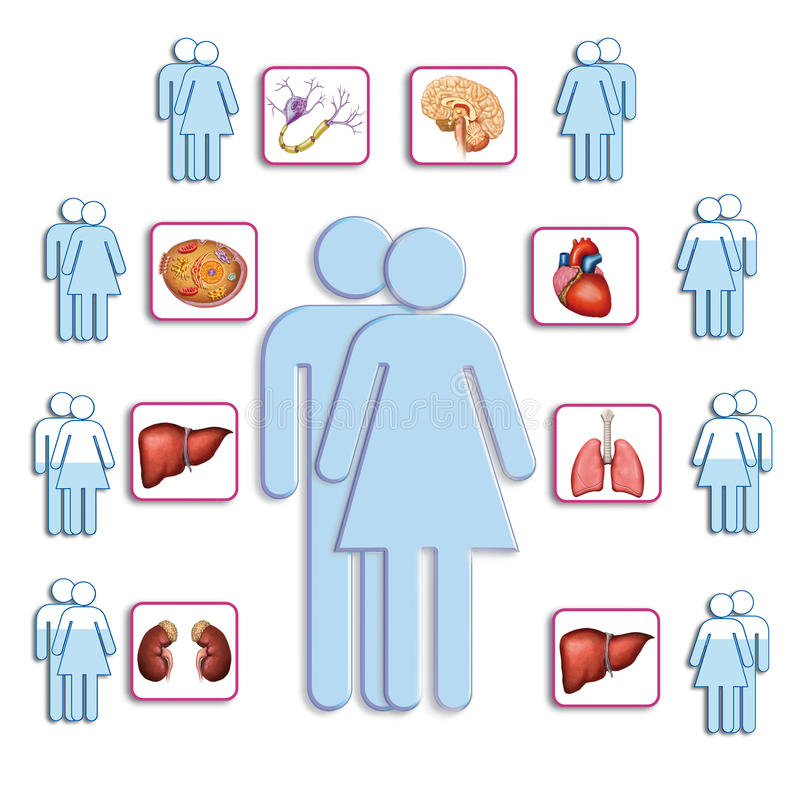Organe Des Menschlichen Körpers Stock Abbildung - Illustration von ...