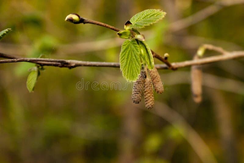 Erlenniederlassung mit den Knospen, den jungen Blättern und den Ohrringen lizenzfreies stockbild