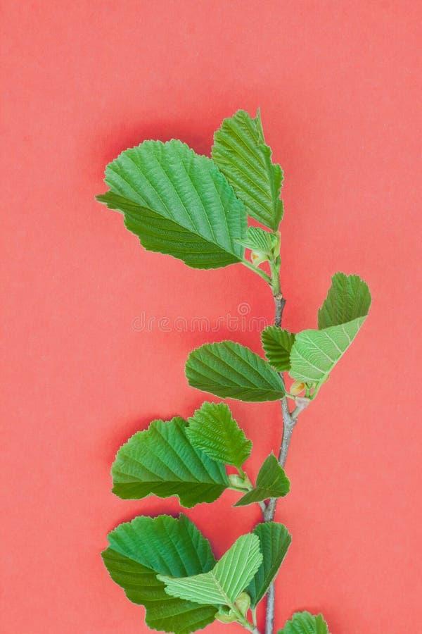 Erlenniederlassung mit frischen Blättern auf lebendem korallenrotem Pastellhintergrund, einfaches flaches gelegtes Frühlingsnatur lizenzfreie stockfotografie