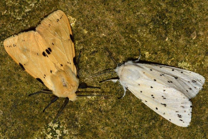 Ermellino giallo cuoio (luteum di spilosoma) e ermellino bianco (lubricipeda di spilosoma) fotografie stock libere da diritti
