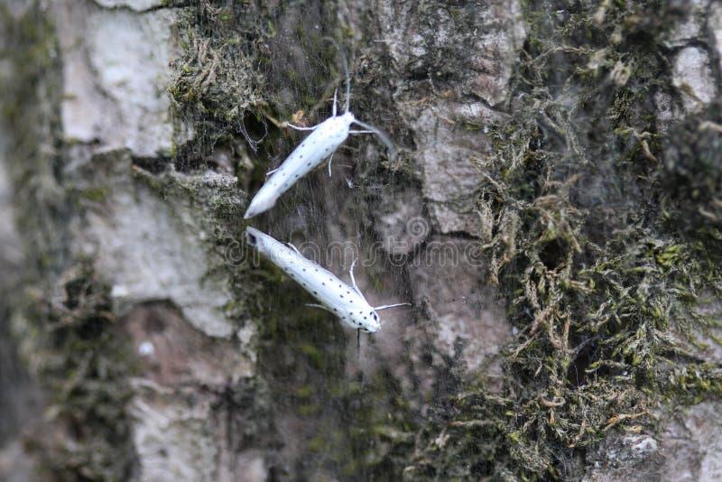 ermine вишни птицы & x28; Evonymella& x29 Yponomeuta; сумеречница дня активная на дереве стоковое изображение rf