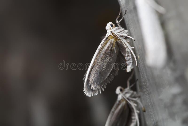 Ermine Птиц-вишни стоковое изображение