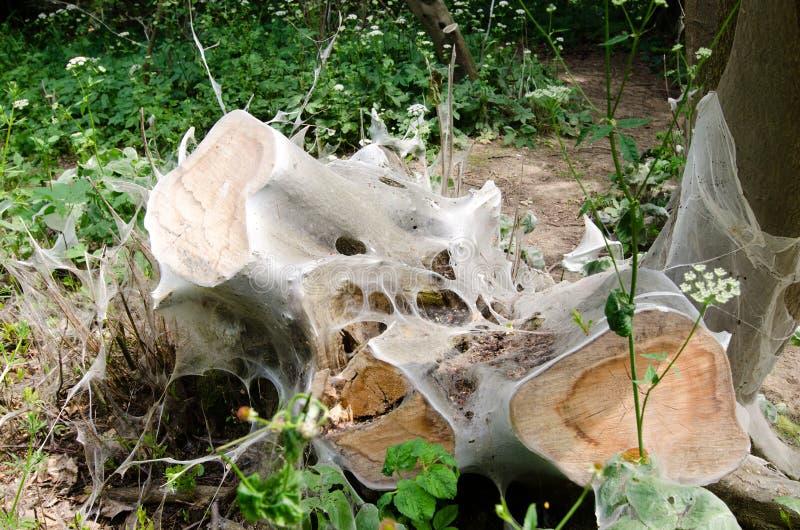 ermine Птиц-вишни, evonymella Yponomeuta стоковое фото