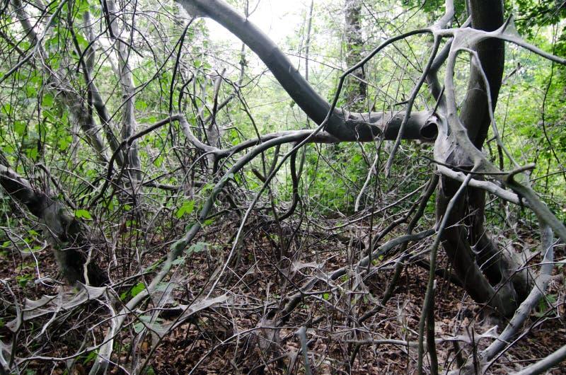 ermine Птиц-вишни, evonymella Yponomeuta стоковое изображение rf