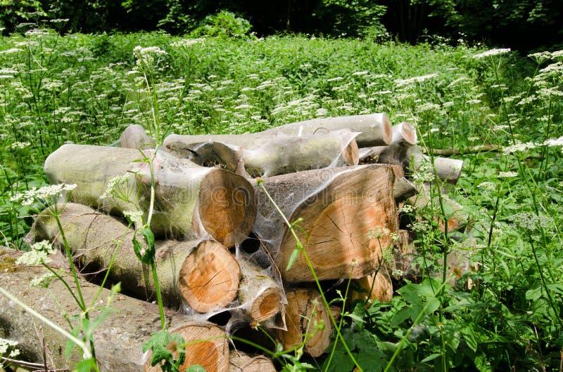 ermine Птиц-вишни, evonymella Yponomeuta стоковая фотография