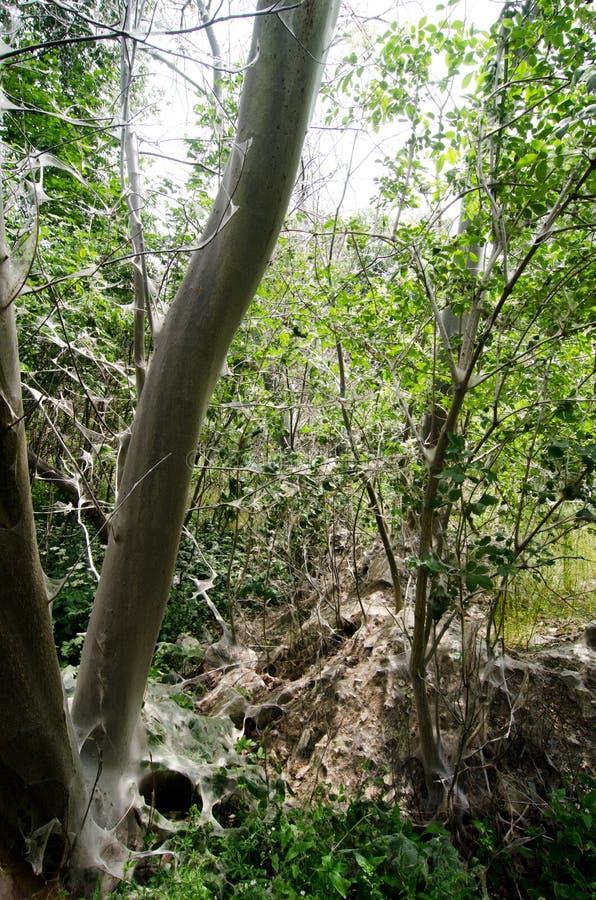 ermine Птиц-вишни, evonymella Yponomeuta стоковые фото