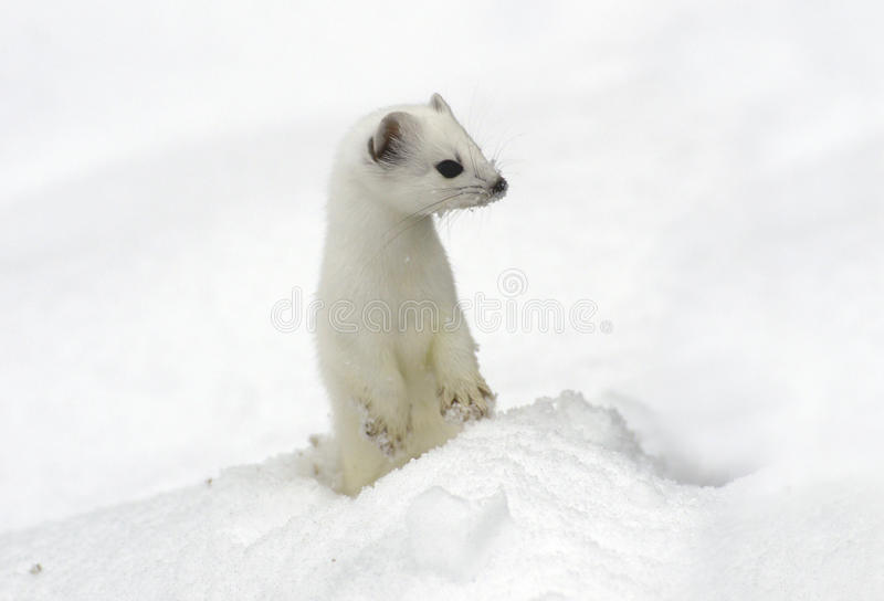 Ermine. royalty free stock photography