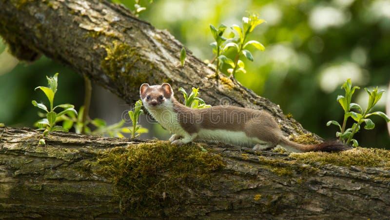 Download Ermine stock image. Image of predator, mammalia, erminea - 24122071