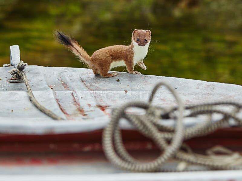 The ermine has climbed on a boat. Jack Londona's lake. The Magadan area, Kolyma royalty free stock image
