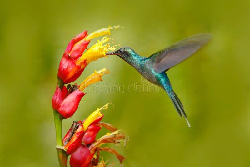Ermitaño verde, individuo de Phaethornis, colibrí raro de Costa Rica Vuelo verde del pájaro al lado de la flor roja hermosa con l imagen de archivo
