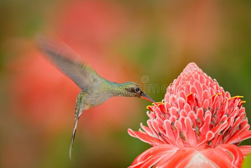 Ermite vert, type de Phaethornis, colibri rare du Trinidad Scène de alimentation d'action dans la forêt tropicale, animal dans la images stock