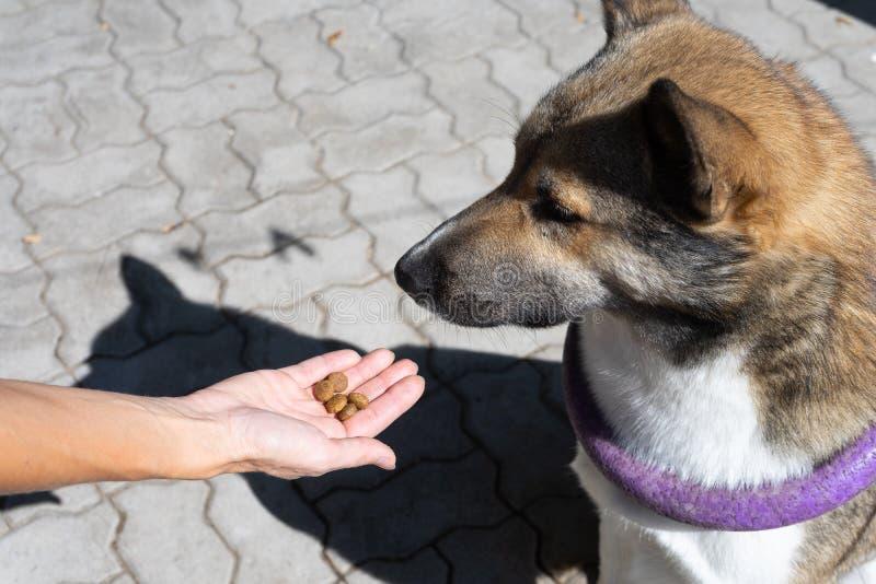 Ermutigung des Hundes nach dem Befehl Die Hosteß gibt dem Hund eine Festlichkeit während des Trainings Training von Hunden lizenzfreies stockfoto