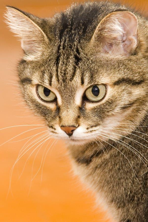 Ernste Katze der getigerten Katze stockbild