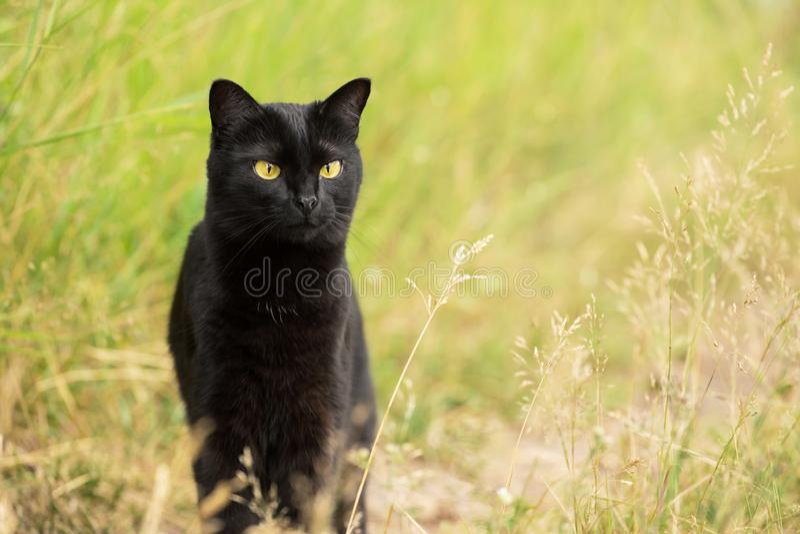 Ernste schwarze Katze Bombays, die draußen im Gras in der Natur, Kopienraum jagt lizenzfreie stockbilder