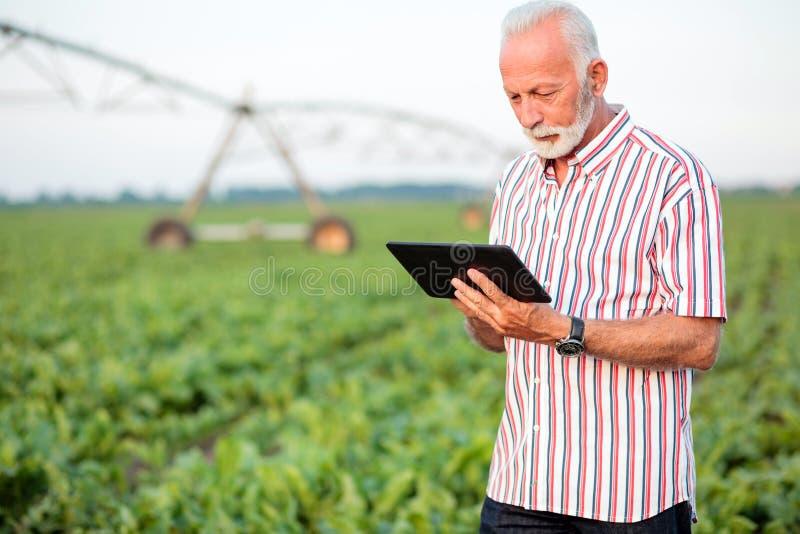 Ernster grauer behaarter älterer Agronom oder Landwirt, der eine Tablette auf dem Sojabohnengebiet verwendet lizenzfreies stockfoto