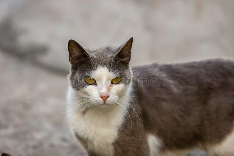 Ernstes Schwarzes mit weißen Katzenblicken in die Kamera auf einem grauen Hintergrund stockfotos