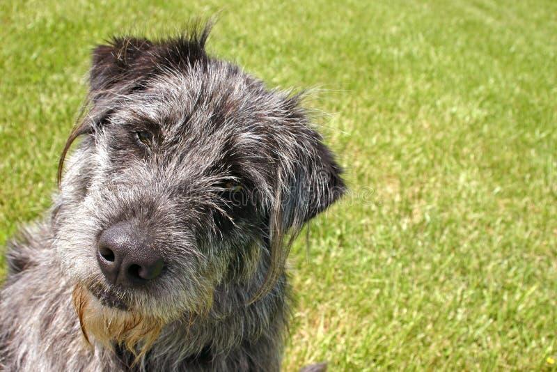 Ernstige -ernstig-lookin' Hond stock fotografie