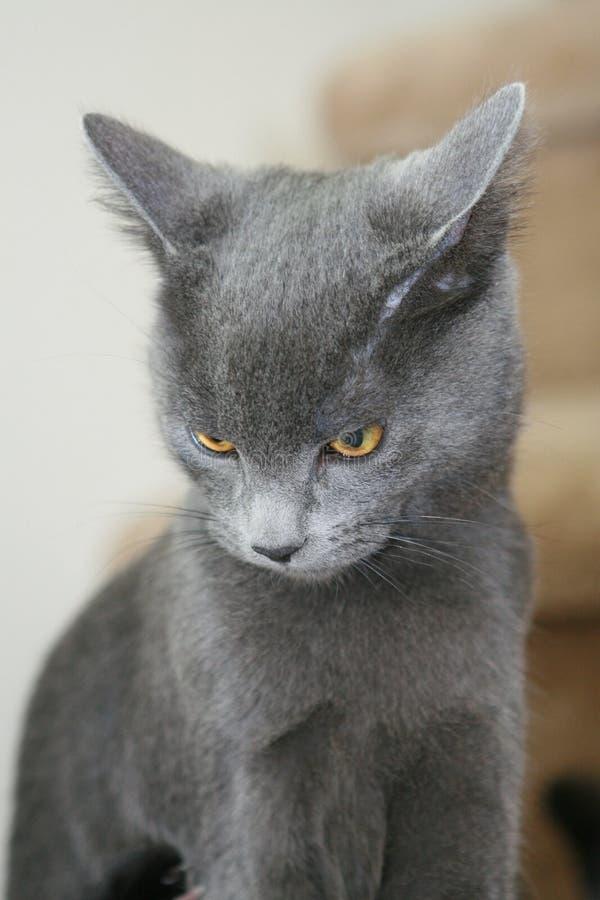 Ernstige kat stock fotografie