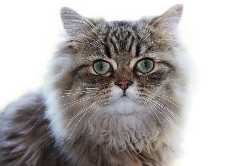 Ernstige Perzische kat stock foto