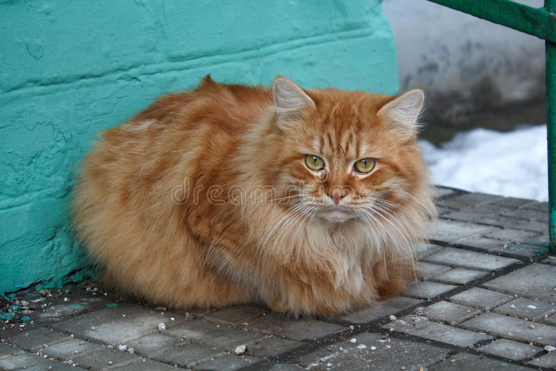 Ernstige rode kattenzitting op de drempel stock foto's