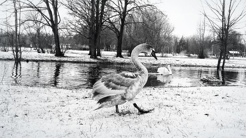 Ernstige zwaangangen langs de rivierbank in de sneeuw stock foto
