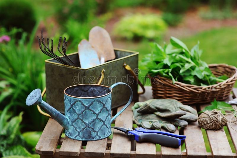 Ernte der frischen organischen Minze von eigenem Garten Sommer gardenwork auf Bauernhof stockfotos