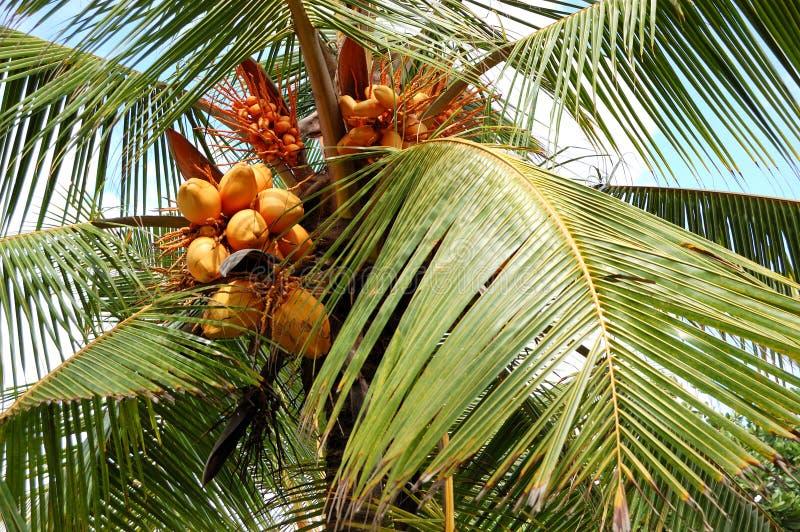 Ernte der Kokosnusspalme mit gelben Früchten lizenzfreies stockbild