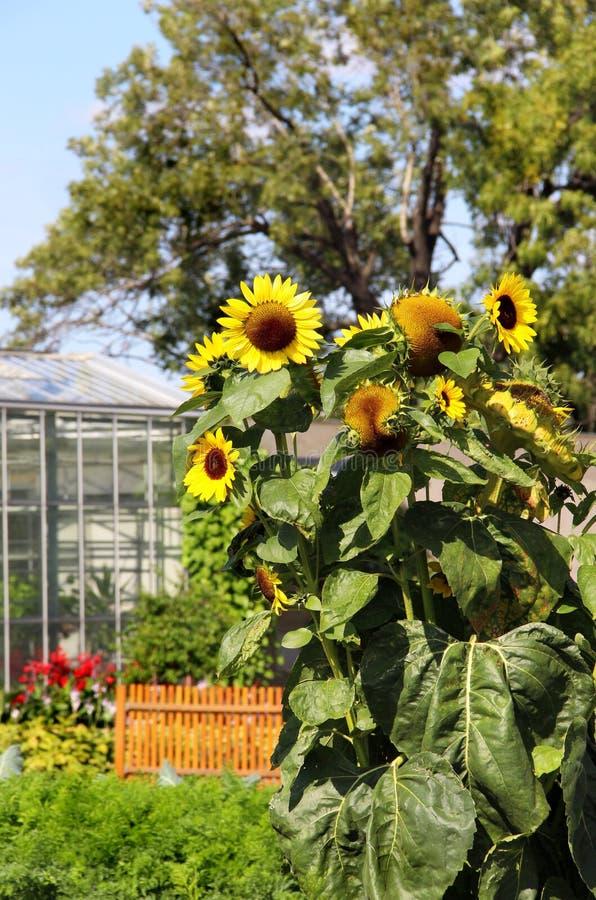 Klare Sonnenblumen lizenzfreies stockbild