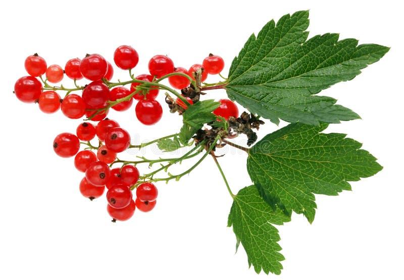 Ernte der wirklichen Gartenfrucht der roten Johannisbeere mit Blättern und dem Zweig stockfoto