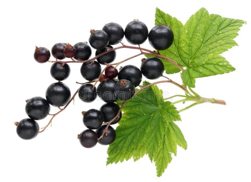 Ernte der wirklichen Gartenfrucht der Schwarzen Johannisbeere mit Blättern und twi stockfotografie