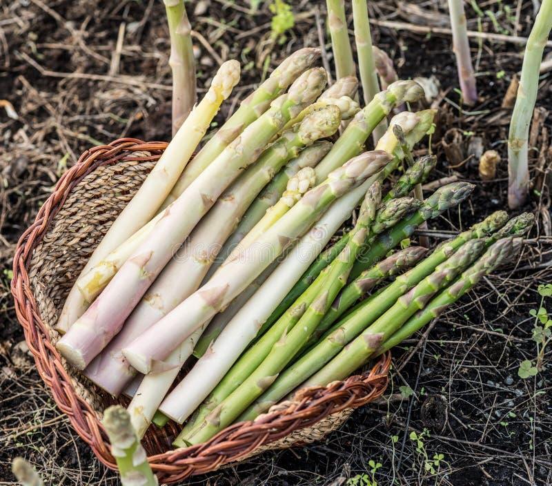 Ernte des weißen und grünen Spargels im Weidenkorb stockbild