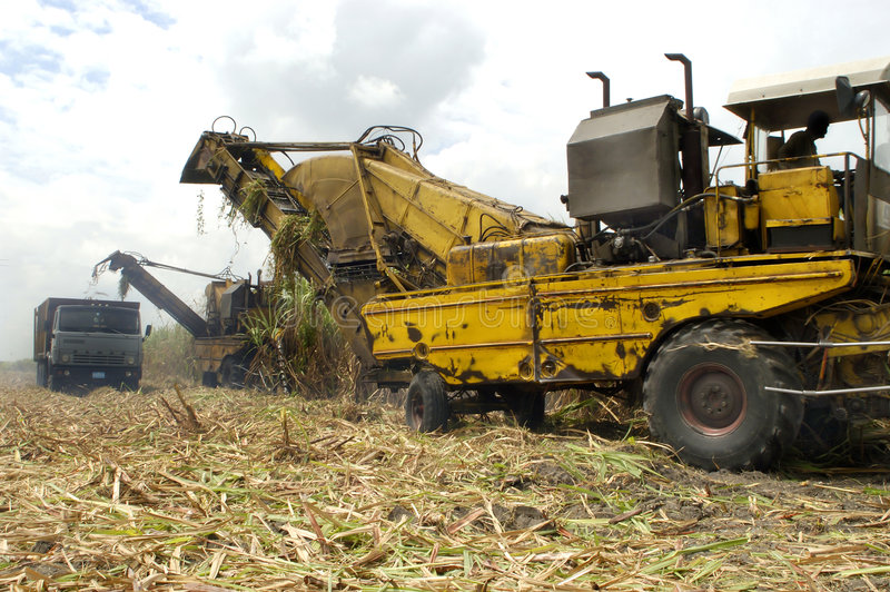 Ernte des Zuckerrohrs stockbilder