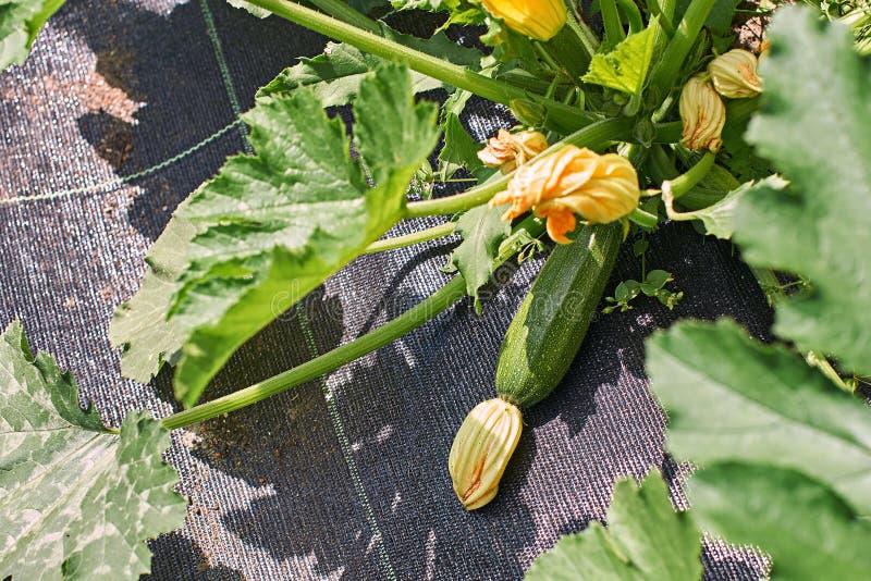 Ernte fertig blühender Zucchini auf Pflanzen im Gemüsegarten mit agrotextiler Bodenabdeckung lizenzfreie stockfotografie