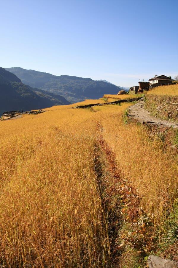 Ernte, Terrasse-Reis-Paddy-Feld stockbild