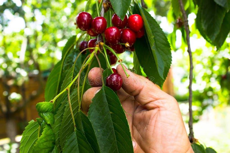 Ernte von den reifen Kirschen, die im Baum hängen lizenzfreies stockbild
