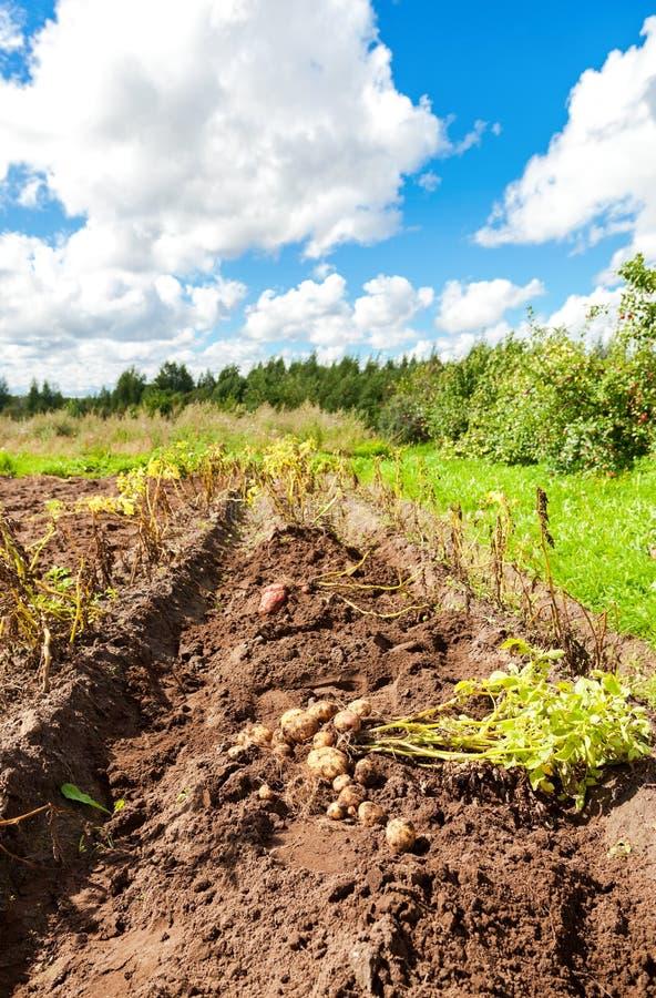 Ernte von organisch gewachsenen Frühkartoffeln im Sommer lizenzfreie stockfotos