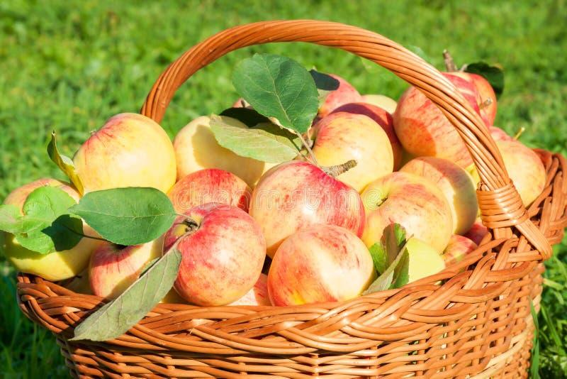 Ernte von roten saftigen Äpfeln im Korb, Erntedankfest lizenzfreies stockfoto