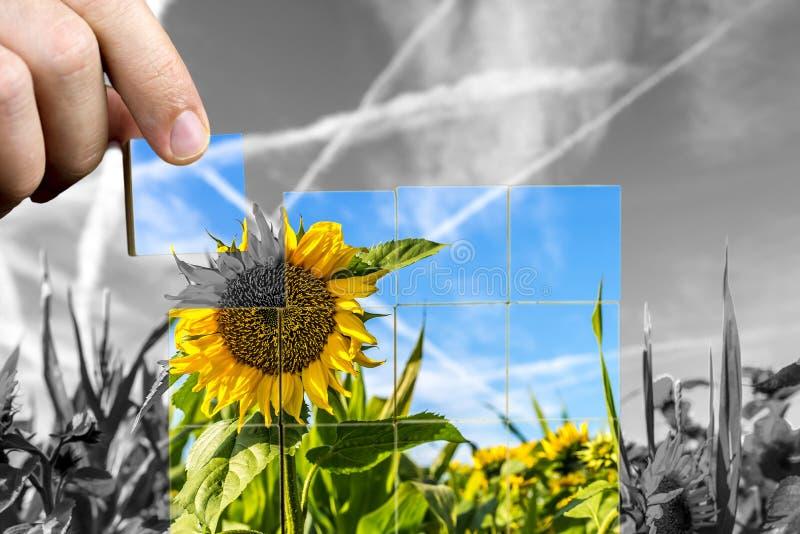 Ernte von Sonnenblumen auf dem Gebiet lizenzfreies stockfoto